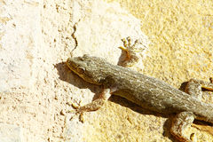Gecko sur le mur de l'Oman image stock