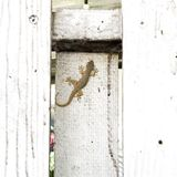 Gecko sur le mur sale blanc Photo libre de droits