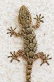 Gecko sur un mur en Espagne Photographie stock libre de droits
