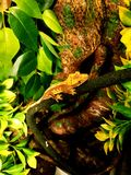 Gecko été perché Photographie stock libre de droits