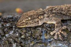 Gecko - Tarentola mauritanica royalty free stock photo