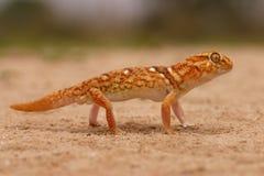 Gecko a terra gigante Fotografia Stock Libera da Diritti