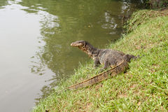 Gecko Thailand royaltyfria foton