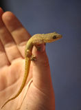 Gecko on thumb Royalty Free Stock Photo