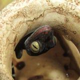 gecko tokay стоковое фото