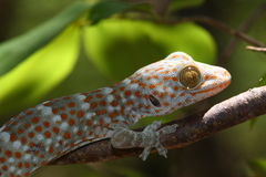 Gecko tokay. Gecko on Rinca (Indonesian island near Komodo royalty free stock photography