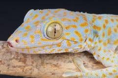 Gecko Tokay Στοκ Εικόνα