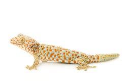 gecko tokay Photo libre de droits