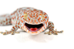 Gecko. Tokay, Gecko, Calling gecko isolated on white background stock image