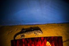 Gecko Tokay climbing a wall at night in Bali (Gekko gecko). Gecko Tokay climbing a yellow wall at night in Bali (Gekko gecko stock photo