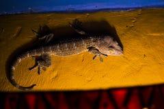 Gecko Tokay climbing a wall at night in Bali. (Gekko gecko Stock Photo