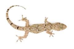 Gecko top view Stock Photos