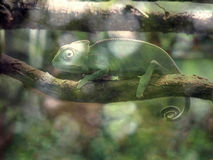 Chameleon on a branch over green background Royalty Free Stock Images