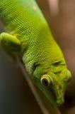 Gecko tropical fotos de archivo