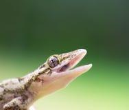 Gecko tropical photographie stock