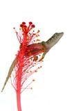Gecko tropicale Fotografia Stock