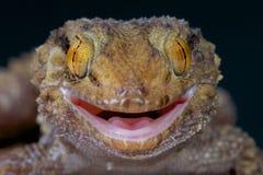 Gecko/turneri bottés avec la pointe du pied épais de Chondrodactylus image stock