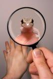 Gecko in una lente d'ingrandimento Fotografie Stock Libere da Diritti