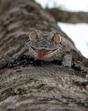 Gecko Uroplatus, Μαδαγασκάρη στοκ εικόνες