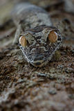Gecko Uroplatus στη Μαδαγασκάρη Στοκ φωτογραφία με δικαίωμα ελεύθερης χρήσης