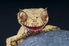 Gecko-/Uroplatus phantasticus Fotografering för Bildbyråer