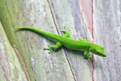 Gecko verde Fotos de archivo libres de regalías