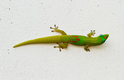 Gecko verde fotografia stock