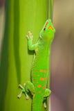 Gecko verde Foto de archivo