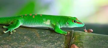 Gecko verde Imágenes de archivo libres de regalías