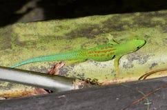 Gecko verde fotografie stock libere da diritti