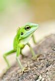 Gecko verde bonito Imagens de Stock