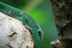 Gecko verde del día que se sienta en tronco Imagen de archivo