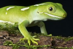 Gecko verde di Auckland Fotografia Stock