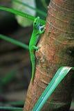 Gecko verde di giorno sul circuito di collegamento di albero Fotografia Stock