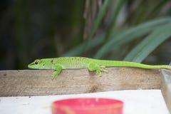 Gecko vert photographie stock libre de droits