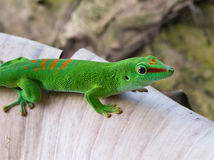 Gecko vert photo libre de droits