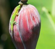Gecko vert photographie stock