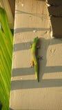 Gecko vert et orange photos libres de droits