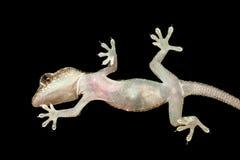 Gecko von unterhalb gesehen stockfotos