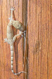 Gecko walking over a piece of wood royalty free stock photography