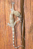 Gecko walking over a piece of wood Royalty Free Stock Photo