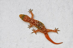 Gecko on the wall. Gecko with regenerated tail on the white wall surface Royalty Free Stock Photo