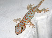 Gecko on the wall. Captured during a night walk Stock Images