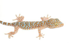 Gecko on the wall Royalty Free Stock Image