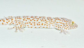 Gecko on the wall Royalty Free Stock Photography