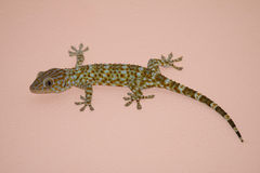 Gecko on the wall. Gecko on the pink wall royalty free stock photos