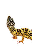 Gecko on the wall white background Royalty Free Stock Photography