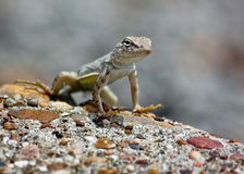 Gecko on watch royalty free stock photo