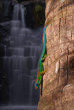 Gecko at waterfalls Stock Photo