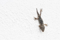 Gecko on a white wall Royalty Free Stock Photos
